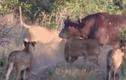 Video: Bị 7 sư tử cắn xé, trâu rừng được 500 anh em giải cứu