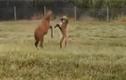 Video: Sói bờm thích thú chơi đùa cùng hươu