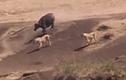 Video: Trâu đực hùng dũng cướp lại nghé con từ nanh vuốt của sư tử