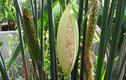 Cận cảnh loài cây độc đáo như được lai giữa mì gói và bắp