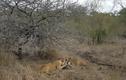 Video: Linh cẩu lợi dụng số đông, đánh đuổi sư tử cướp mồi và cái kết