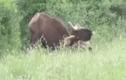 Video : Rình hổ dữ săn trâu rừng và cái kết
