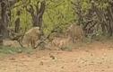 Video: Linh cẩu lao vào đánh báo đốm cướp mồi