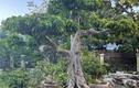Lão nông mua cây sanh xấu xí về uốn, khách trả giá khủng quyết không bán