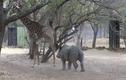 Video: Tê giác con cà khịa hươu cao cổ và cái kết đắng