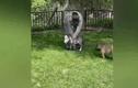 Video: Ngựa tí hon được nuôi làm thú cưng như chó