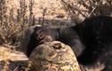 Video: Lửng mật cướp trắng miếng ăn của rùa