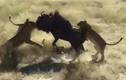 Video: 1 chọi 8, linh dương đầu bò vẫn khiến đàn sư tử thua muối mặt