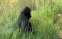 Video: Khỉ đầu chó ôm báo gấm con bỏ chạy