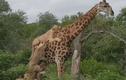 Video: Hươu cao cổ bị đàn sư tử cắn xé trong suốt 5 giờ đồng hồ