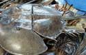 Máu sam biển bán đắt gấp trăm lần thịt sam biển