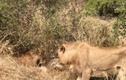 Video: Dòm ngó bữa ăn của đàn sư tử, linh cẩu nhận kết cục bi thảm