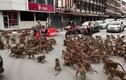 Khu tham quan vắng khách mùa COVID-19, khỉ tràn xuống phố hỗn chiến giành đồ ăn