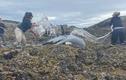 Cá voi sát thủ mắc cạn trên bãi đá và quá trình giải cứu