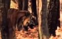 Video: Hổ đói phi thân như chạy trên mặt nước tóm gọn con mồi
