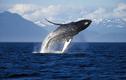 Vắng du khách, cá voi Alaska hạnh phúc hơn bao giờ hết