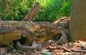 Video: Rắn hổ mang không ngờ bị kỳ đà tung cú trời giáng vào mặt