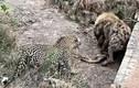 Video: Màn tranh giành con mồi cực gắt giữa báo hoa mai và linh cẩu