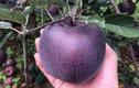 Về quê trồng táo nhìn như nhiễm độc, ai dè vớ được mỏ vàng