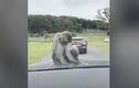 Video: Đàn khỉ hoang vây quanh xe du khách ở Anh
