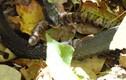 Video: Rắn lục độc cắn ngập răng vào kẻ đi săn không có nọc độc