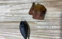 Tìm thấy cổ vật trong bụng cá sấu ở Mỹ