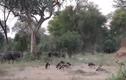 Video: Bầy chó hoang hạ sát trâu rừng khổng lồ