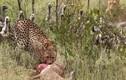 Video: Đàn kền kền hung hãn cướp con mồi của báo săn và cái kết
