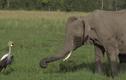 Video: Con sếu liều mạng đánh đuổi bầy voi khổng lồ để bảo vệ tổ