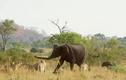Video: Bầy sư tử cố gắng săn voi con và cái kết đầy bất ngờ