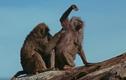 """Video: Bầy sư tử xâu xé khỉ đầu chó, chỉ vài giây đã """"diệt gọn"""" con mồi"""