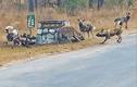 Video: Linh cẩu đối đầu với đàn chó hoang để bảo vệ con nhỏ
