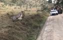 Video: Ngoạm trúng cổ ngựa vằn, sư tử háu đói vẫn thảm bại ê chề