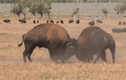 """Video: Kinh ngạc với màn chọi nhau """"bất phân thắng bại"""" của bò đực"""