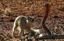 Kinh hoàng đối đầu giữa cầu Măng-gút và rắn hổ mang