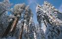 Tuyết phủ trắng rừng cây đại thụ cao nhất nước Mỹ đẹp như cổ tích
