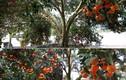 Nghệ An: Cây quýt rừng khổng lồ, giá 100 triệu chưa bán