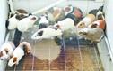 Độc nhất Việt Nam, nuôi 17 ngàn con chuột, ở chung cư, ăn bánh quy