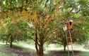 Mùa dâu da chi chít từ gốc đến ngọn, nông dân thu tiền triệu