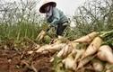 Cục Trồng trọt: Củ cải bỏ thối, nông dân đã thu tiền tỷ trước rồi