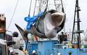 Mùa săn cá voi đầu tiên sau 31 năm của Nhật Bản