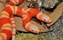 Ngắm rắn bạch tạng 2 đầu có giá hơn 1 tỷ đồng