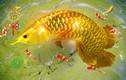 Mơ thấy 3 giấc mơ về cá này: Gia chủ sắp đổi đời giàu sang