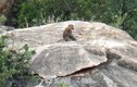 Đàn khỉ xuống núi phá vườn nho, bắt gà, tấn công người truy đuổi