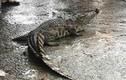 Dân hoang mang vì nghi cá sấu xuất hiện trên sông