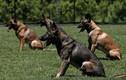 Hàng chục chó nghiệp vụ lùng sục tên cướp trốn trong đồng cỏ