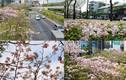 Ngây ngất ngắm hoa kèn hồng nhuộm tím đường phố Sài Gòn