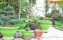 Biệt thự Hà Nội đẹp lạ nhờ những chậu cây màu xanh mát mắt