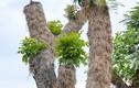 """Hàng cây xà cừ Kim Mã """"hồi sinh"""" mạnh mẽ sau 7 tháng di dời"""