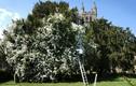 Đẹp ngỡ ngàng cây hoa hồng khổng lồ hơn trăm tuổi